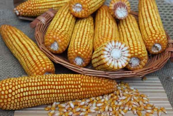 黑龙江玉米种子,高产稳产抗性好,中晚熟米质好,产量高批发