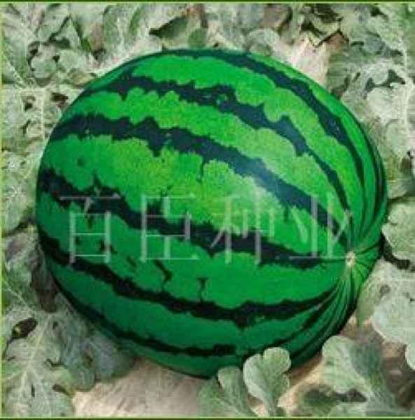 厂家直销西瓜种子|西瓜种子|西瓜种子厂家
