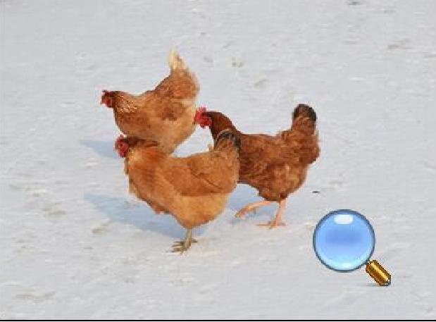 山东跑山鸡养殖销售