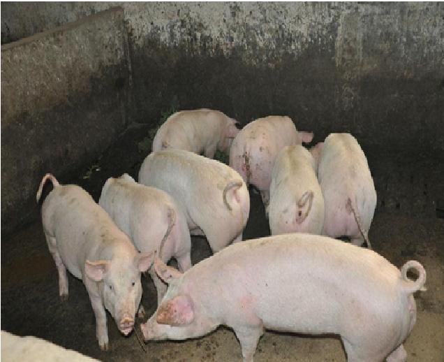 黄河口饲养正宗长白猪