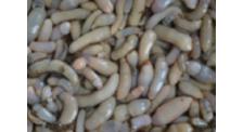 海肠养殖厂家