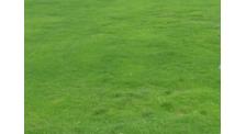 草坪草种子批发