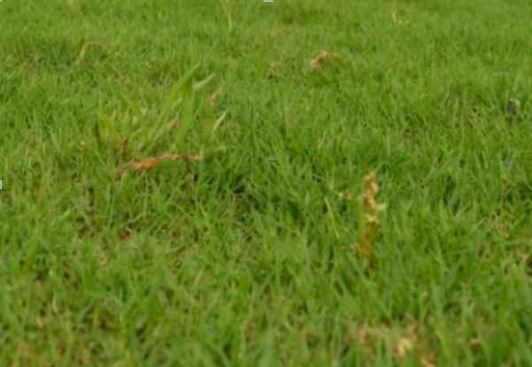 江苏草坪专业种植
