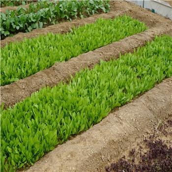 新鲜蔬菜采摘