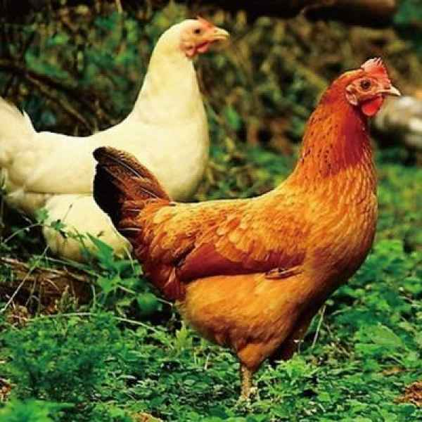 海安生态草鸡