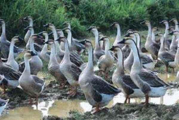 海安生态鹅信息