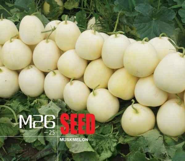 高产香瓜种子