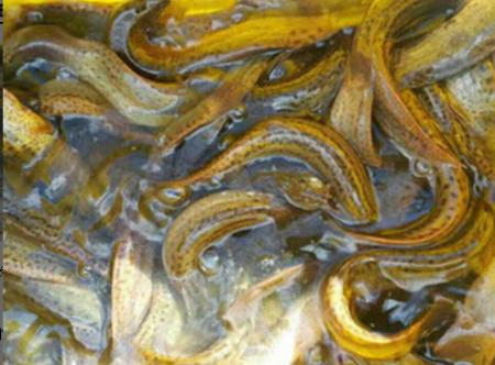 鲜活泥鳅价格