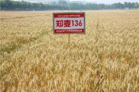 郑麦136小麦品种