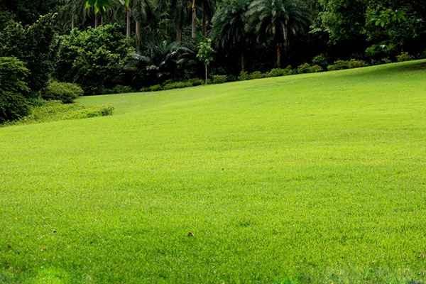 辽宁草坪公司绿野草坪生产   绿化草坪是用多年生矮小草本植株密植,并经修剪的人工草地。18世纪中,英国自然风景园中出现大面积草坪。中国近代园林中也出现草坪,主要品种有早熟禾,高羊毛,四季常青 ,冷季型草坪,混播草坪等。   辽宁草坪公司绿野草坪生产
