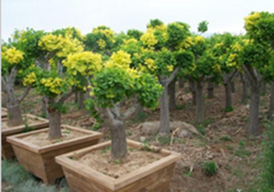 玉镶金银杏树盆景价格 -价格,厂家,其他绿化苗木