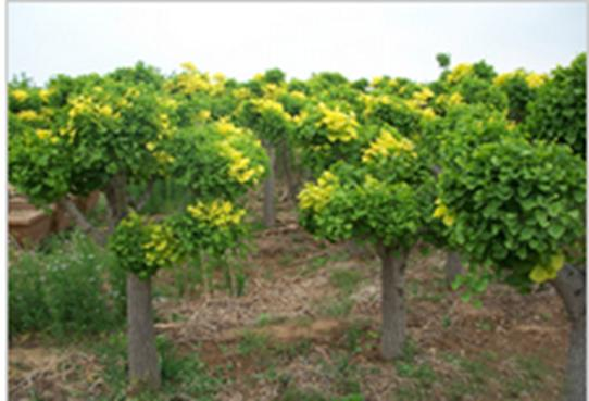 玉镶金银杏景观树批发 -价格,厂家,其他绿化苗木