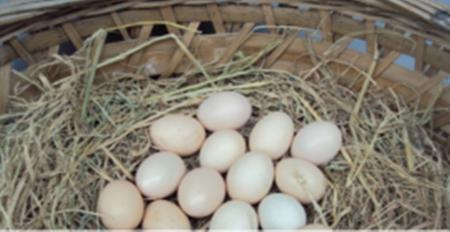 生态土鸡蛋供应