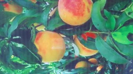 盆栽永莲蜜桃批发零售