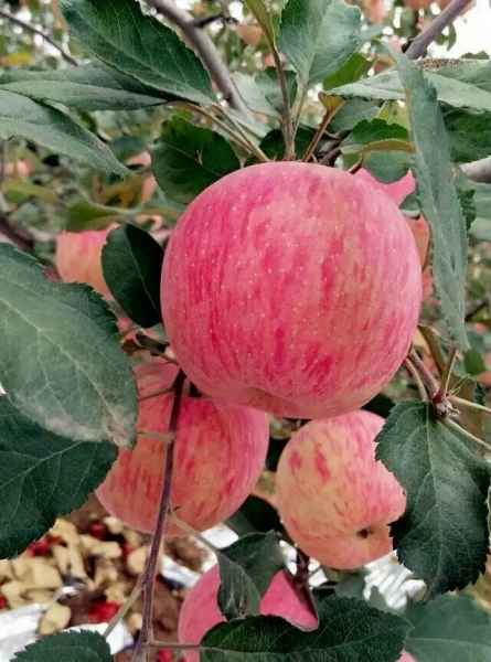 白水美好家园田浓苹果