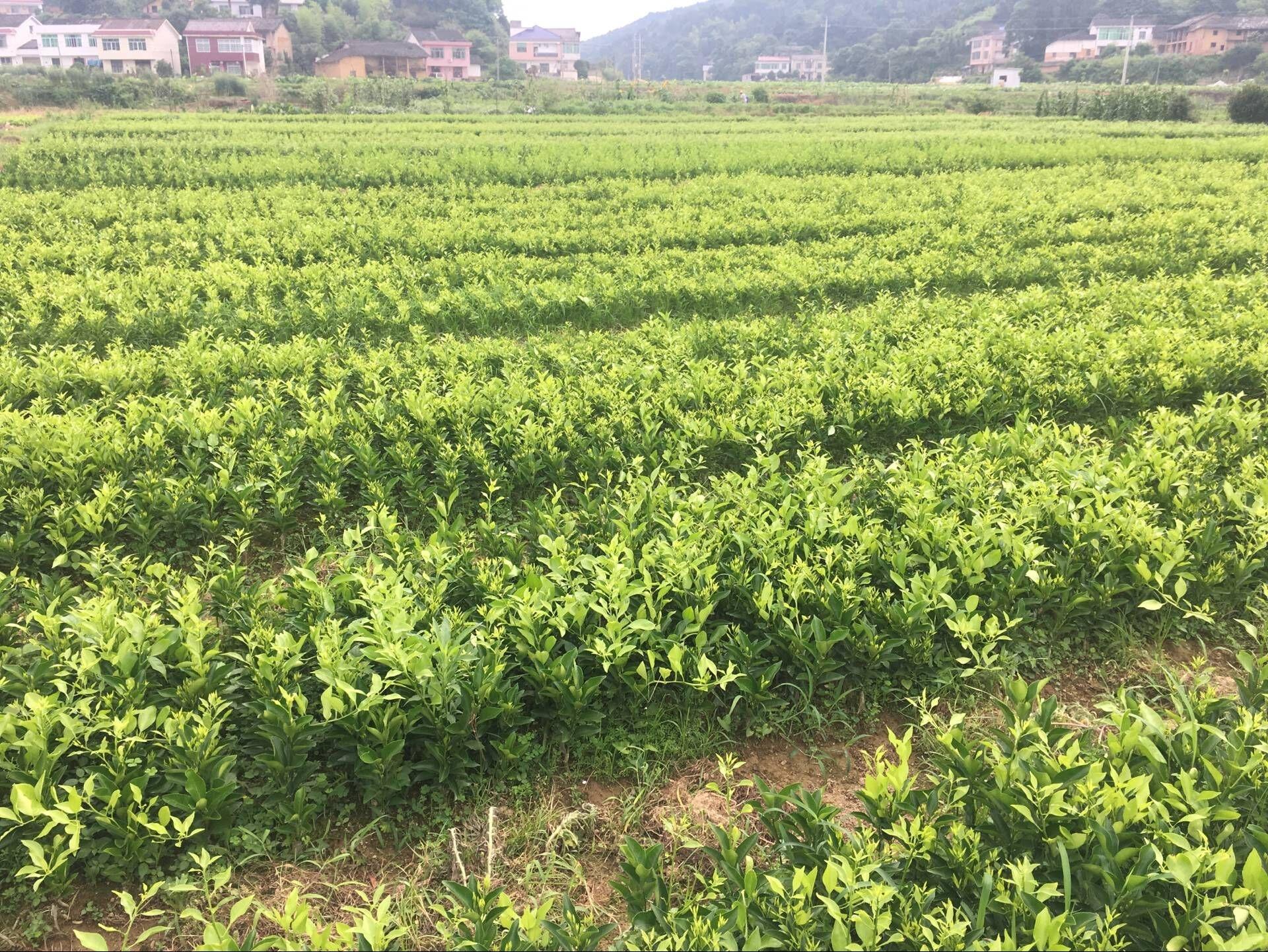 大雅柑苗种植