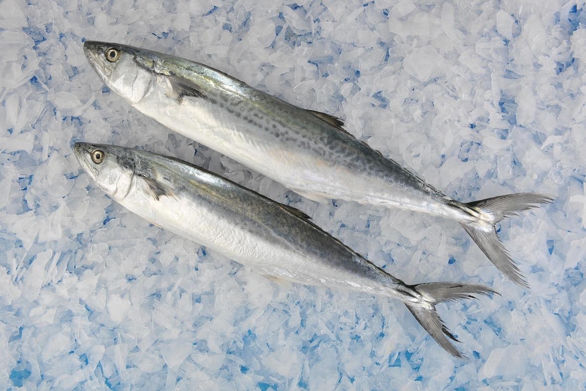 冷冻鲅鱼厂家供应