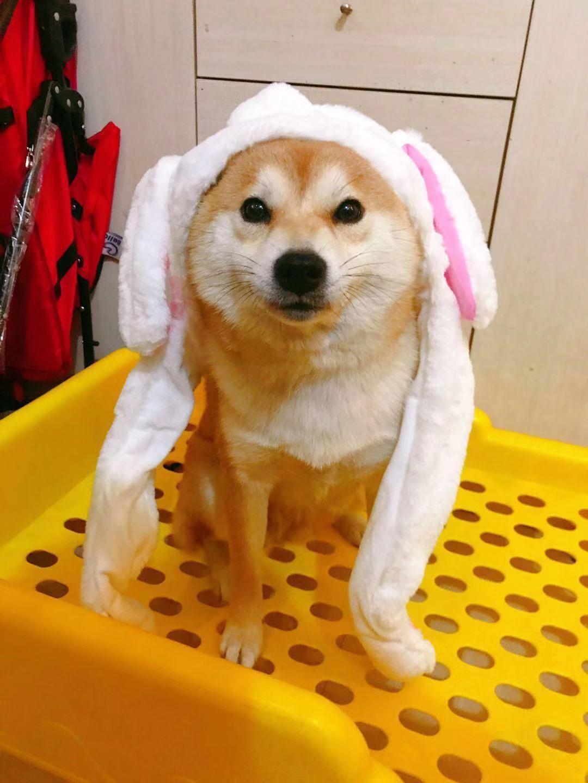 北京柴犬售价