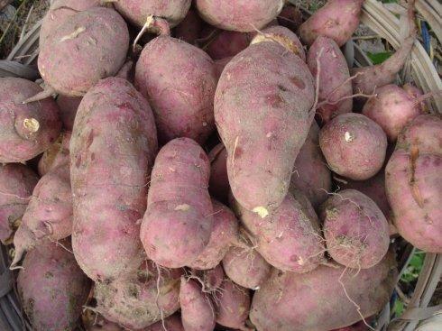 大连红薯销售