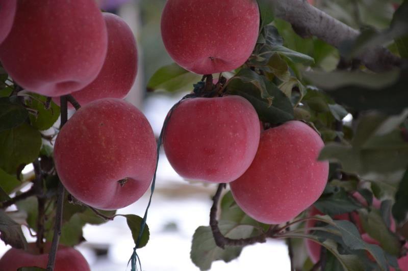 河北新鲜苹果选哪家