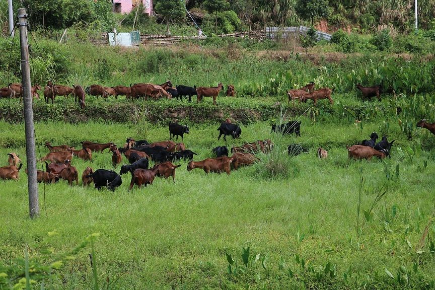 浙江努比亚山羊养殖基地