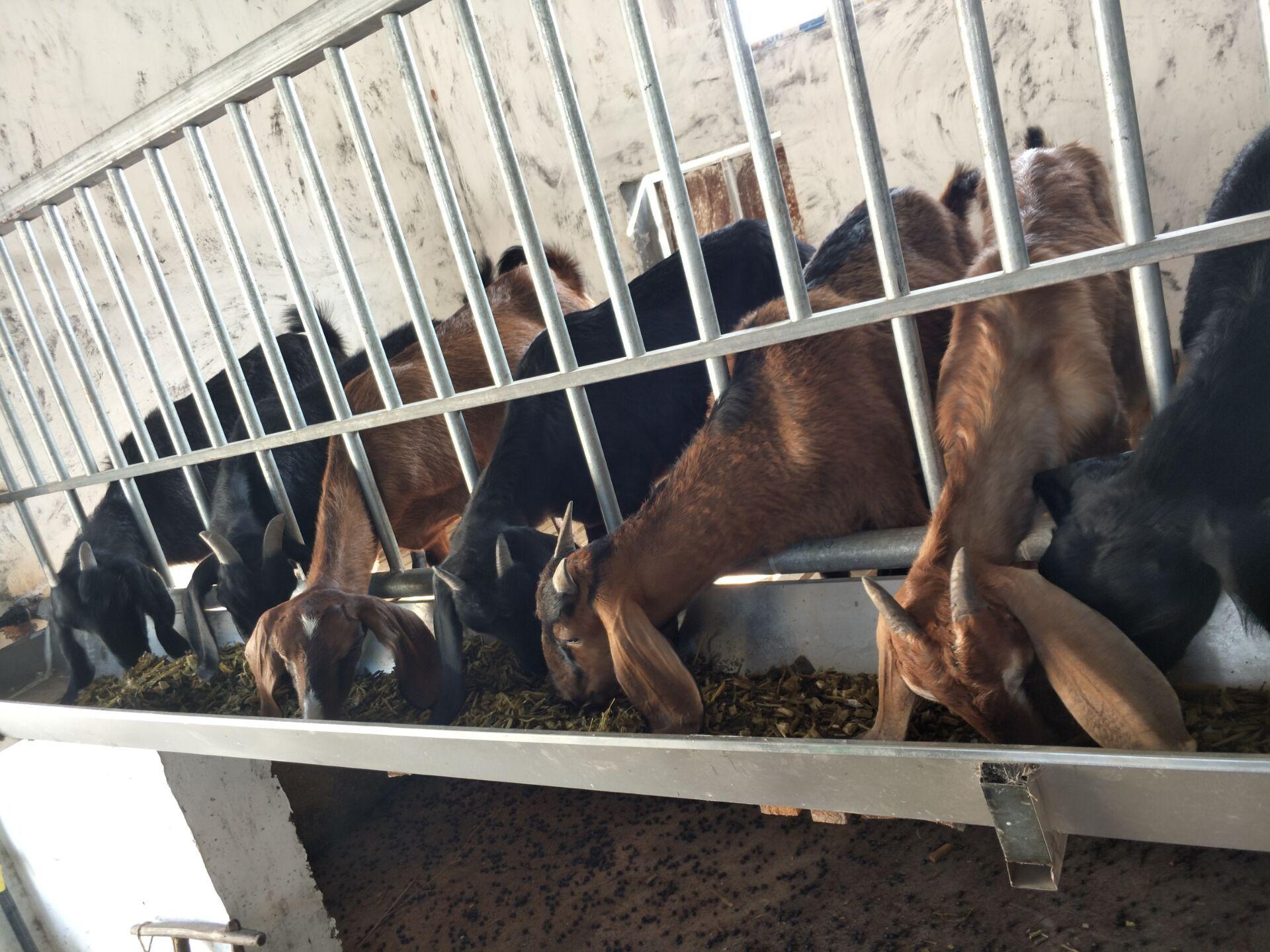 努比亚种羊厂家直销