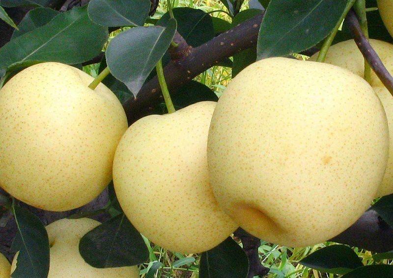 江苏优质大黄梨批发价格
