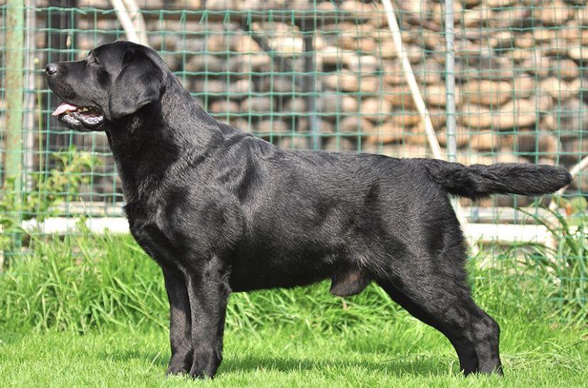 拉布拉多犬圖片