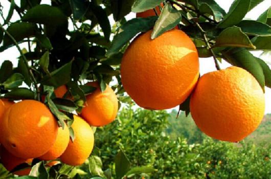 脐橙厂家直销