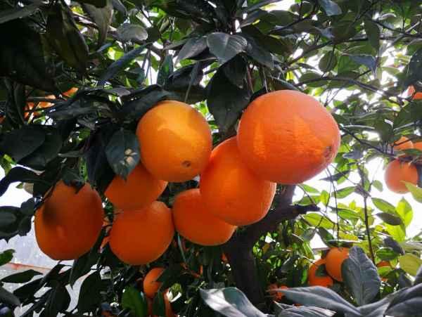 四川龙回红脐橙种植生产