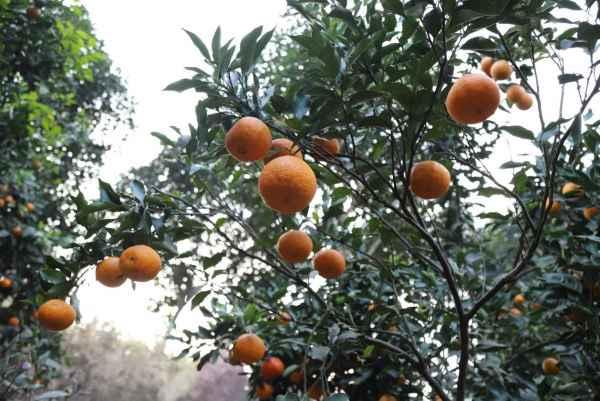 高糖柑橘濑户见