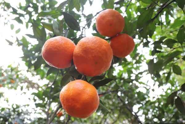 湖南甘平柑橘销售价格