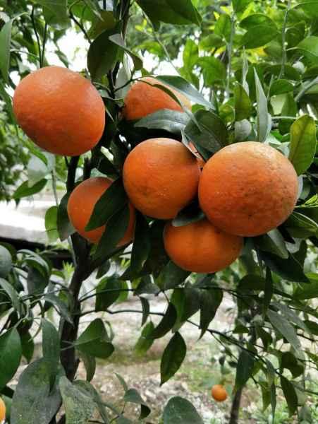 重庆柑橘培育供应商