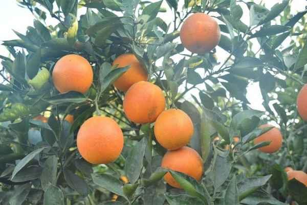 塔罗科血橙培育
