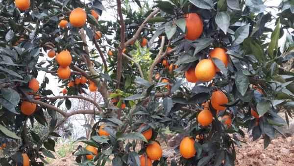 脐橙树苗供应