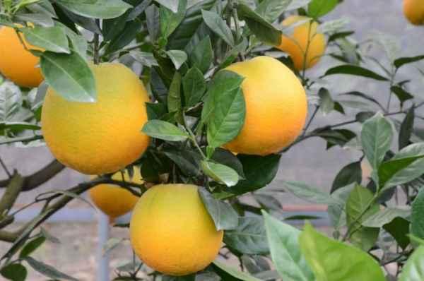 早脐橙培育生产