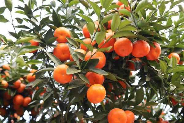 贵州少核茂谷柑种植生产