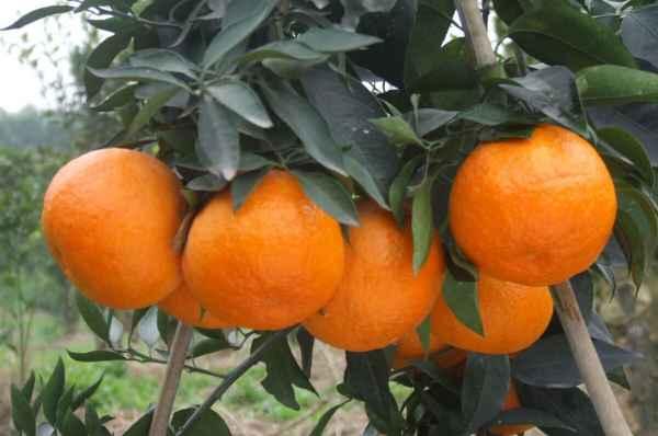 贵州甜橙销售商