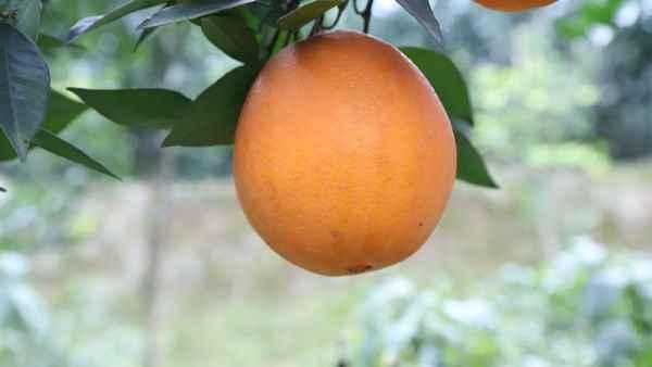 脐橙销售价格