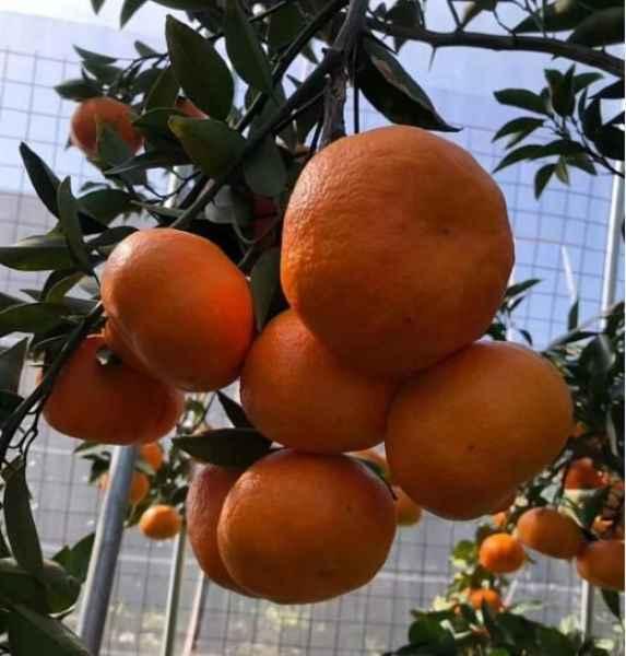 橘橙销售价格