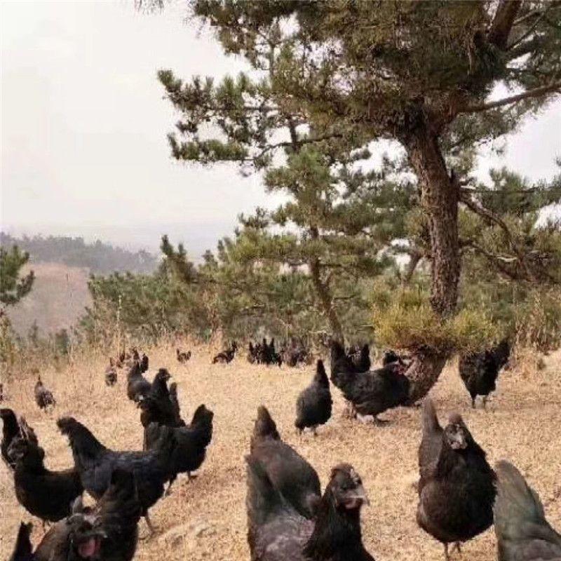 淄博鸡苗孵化厂批发