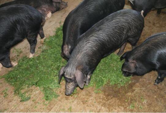 散養生態糯谷豬供應