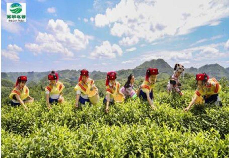 貴州有機紅茶綠茶廠家供應