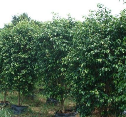 供应广西榕树品种 小叶榕与大叶榕与高山榕简介