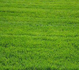 供应草皮 东莞绿化养护 马尼拉草 台湾草 玉龙草 东莞草坪