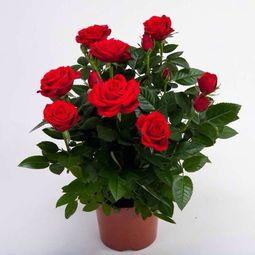 供应玫瑰 月季 东莞绿植养护 蔷薇花 紫金露 康乃馨 牵牛花
