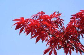 苗木销售红枫