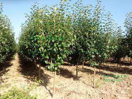 苗木销售海棠树