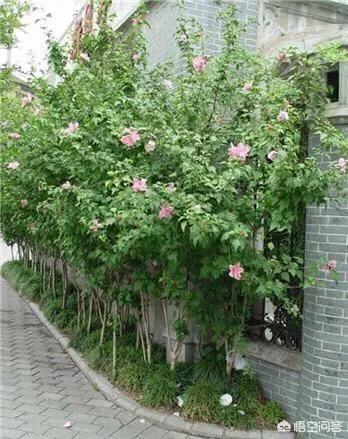 阜阳皖西北花木城出售木槿