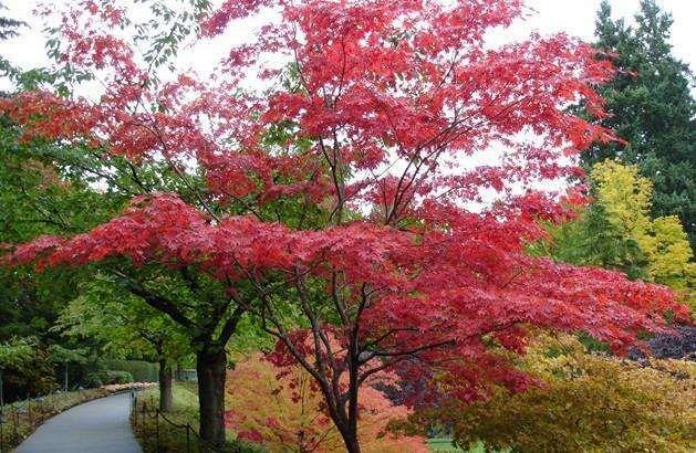 阜阳良筑苗木出售红枫
